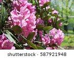 flowering branch of... | Shutterstock . vector #587921948
