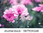 Pink Chrysanthemum Flower In...