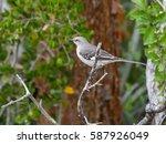 northern mockingbird perched in ... | Shutterstock . vector #587926049