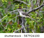northern mockingbird perched in ... | Shutterstock . vector #587926100