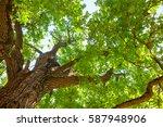 green leaves on oak tree... | Shutterstock . vector #587948906
