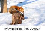 sleepy red fox in winter snow... | Shutterstock . vector #587960024