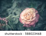 Stock photo close up of vintage rose flower 588023468