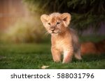 Stock photo young lion cub in the green grass on a sunny day 588031796