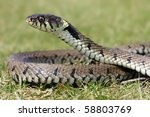Grass Snake Basking In Sunlight.