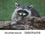 Raccoon  Procyon Lotor   Also...