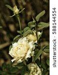 Stock photo growing garden white rose on dark background 588144554