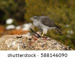 northern goshawk | Shutterstock . vector #588146090