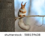 Stock photo animals in wildlife amazing photo of cute american red squirrel with big fluffy tail sitting high 588159638
