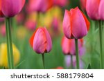 Field Of Pink And Yellow Tulip...