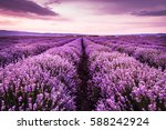 blooming lavender field under... | Shutterstock . vector #588242924