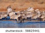 Two sandhill cranes take flight