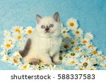 Stock photo cute little color point kitten sitting on chamomile flowers 588337583