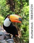 toucan bird from south | Shutterstock . vector #588345254