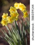 yellow daffodils  narcissus  | Shutterstock . vector #588359144