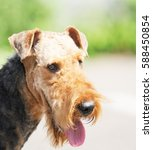 Small photo of Airedale Terrier outdoors portrait over green blurry background