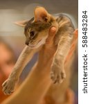 Small photo of Abyssinian cat portrait