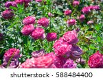 Stock photo rose bush with lots of pink roses in bloom 588484400