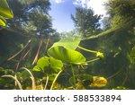 Beautiful Yellow Water Lily ...