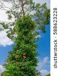 a tall pine tree growing to the ... | Shutterstock . vector #588623228