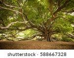The Old Moreton Bay Fig  Milto...