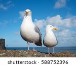 Two Seagulls In St. Ives ...