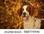 irish red and white setter... | Shutterstock . vector #588775940