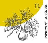 Figs Tree Brunch Vector Hand...