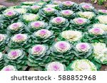Flowering Purple Cabbage In A...