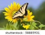 Butterfly collecting pollen from large sunflower - stock photo