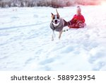 staffordshire terrier moves the ...   Shutterstock . vector #588923954