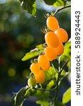 close up yellow cherry tomato... | Shutterstock . vector #588924443