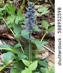Small photo of Ajuga reptans (bugle, blue bugle, bugleherb, bugleweed, carpetweed, carpet bugleweed, common bugle, carpenter's herb)