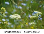 close up of a white wildflower... | Shutterstock . vector #588985010