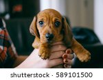 Stock photo  weeks old smooth hair brown dachshund puppy held in hands of its female owner that wears a 589101500