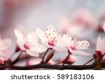 blossoming branch plums on a... | Shutterstock . vector #589183106
