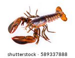 Raw Canadian Lobster On White...