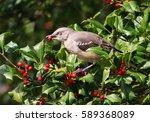 Northern Mockingbird Feeding...