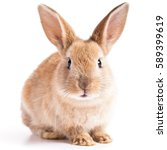 Red bunny rabbit portrait looking frontwise to viewer on white background