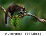 raccoon  procyon lotor  on the... | Shutterstock . vector #589428668