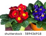 Spring Colorful Primroses...