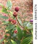 Small photo of Melastomataceae alternatively Melastomaceae is a taxon of dicotyledonous flowering plants