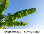 banana tree with blue sky | Shutterstock . vector #589496480