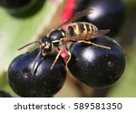 european common wasp  vespula... | Shutterstock . vector #589581350