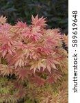 Small photo of Acer shirasawanum Autumn Moon