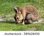 cute baby european wild rabbit... | Shutterstock . vector #589628450