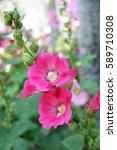 Small photo of Hollyhock ( Alcea rosea )