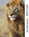 Lion male in his pride, Serengeti, Tanzania - stock photo