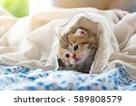 Stock photo close up of cute kitten play and lying on the bed in home 589808579