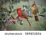northern cardinal male and... | Shutterstock . vector #589852856